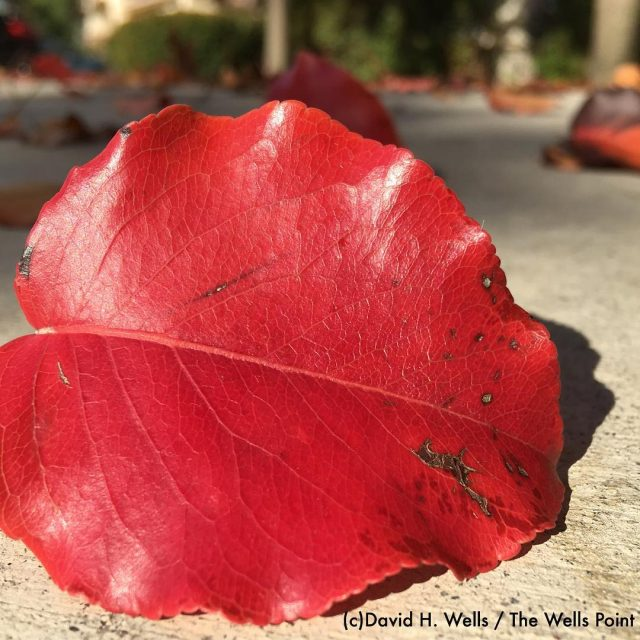Great Autumn colors in Davis California red autumn leaves colorhellip